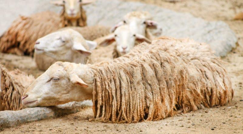 Olho fechado do sono dos carneiros brancos com corpo molhado após chover, tempo relaxado fotografia de stock
