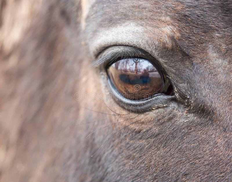 Olho marrom grande do cavalo imagens de stock