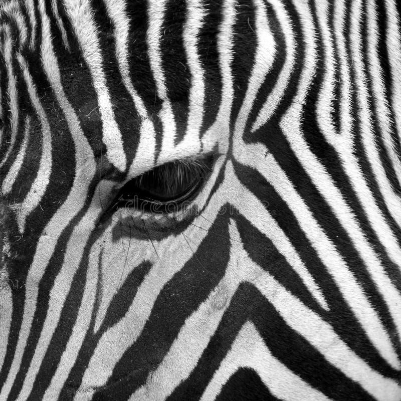 Olho principal da zebra imagem de stock