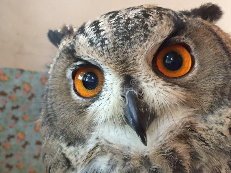 Olhos alaranjados Eagle Owl imagem de stock royalty free