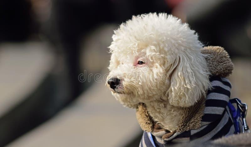 Olhos ansiosos de um cão fotos de stock royalty free