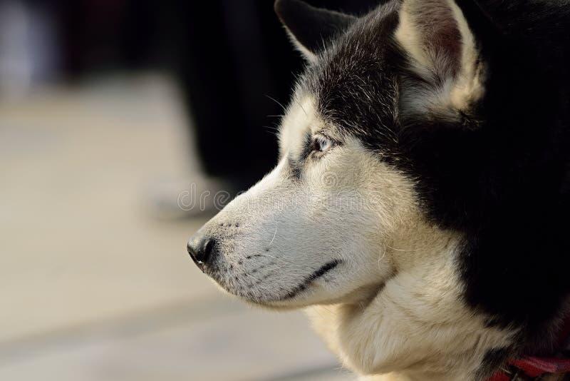 Olhos ansiosos de um cão foto de stock royalty free