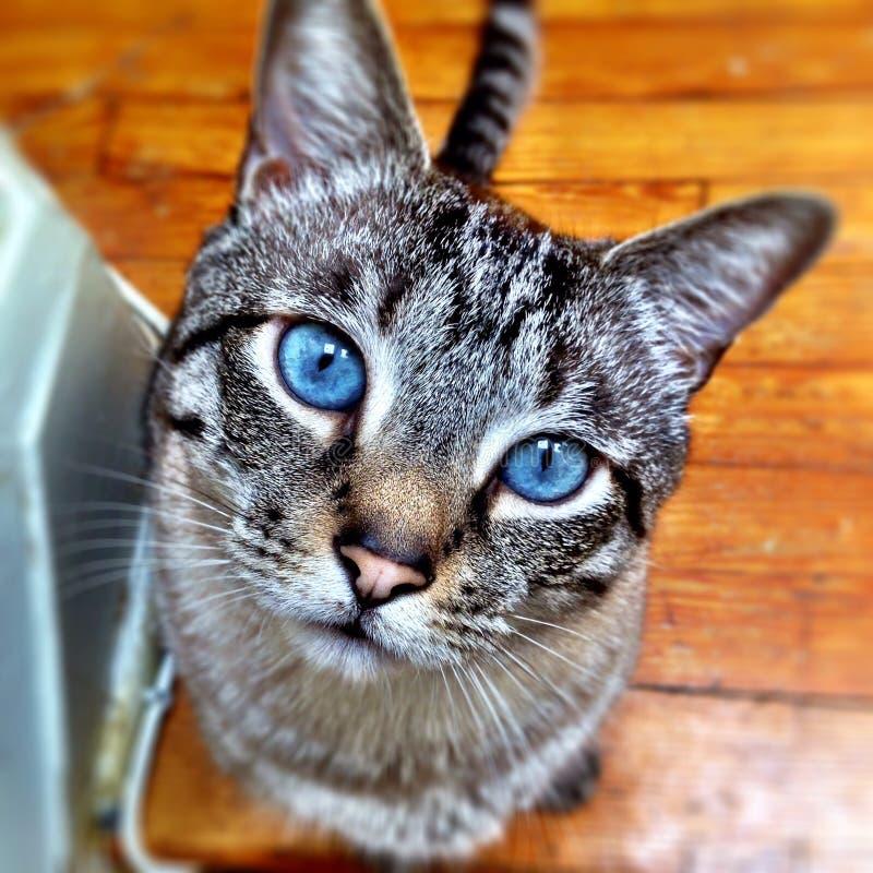 Olhos azuis bonitos do gato foto de stock royalty free