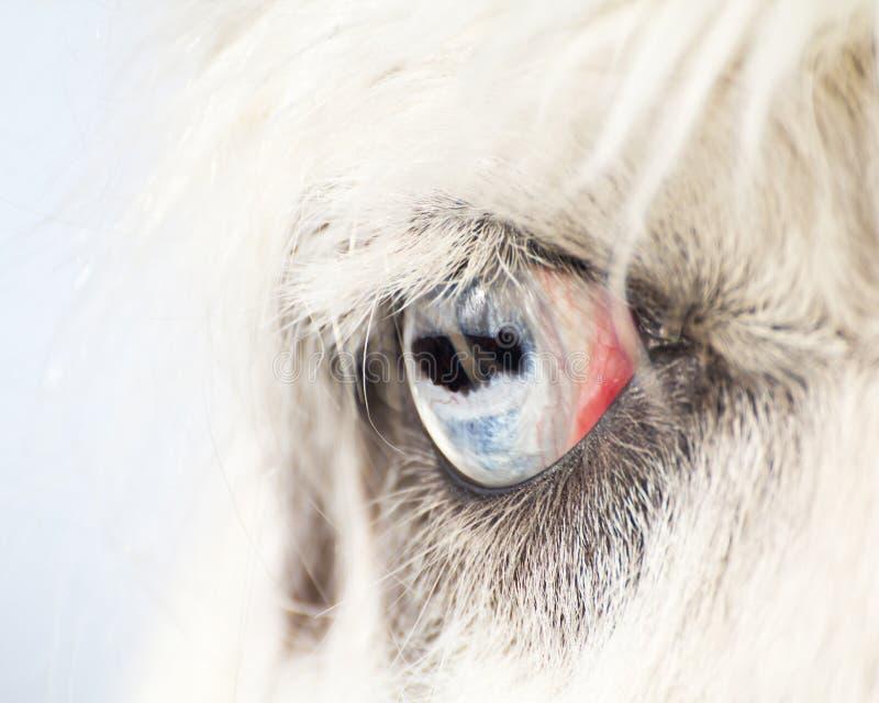 Olhos azuis de um fim do lama acima foto de stock