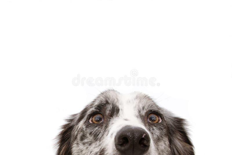 Olhos azuis do cão de border collie do merle do close-up Isolado no fundo branco imagem de stock royalty free