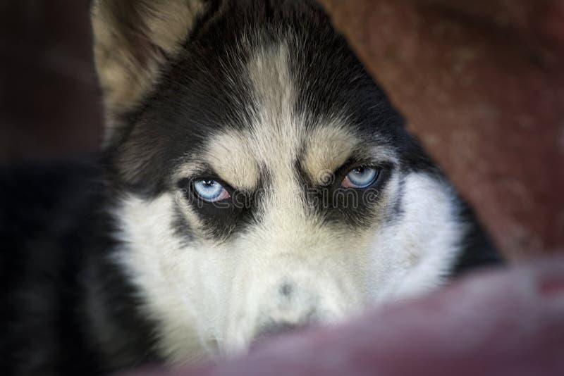 Olhos azuis do cão ronco Siberian, olhos do lobo que olham irritados ou expectantes fora do fundo escuro Cão de puxar trenós Sibe fotografia de stock