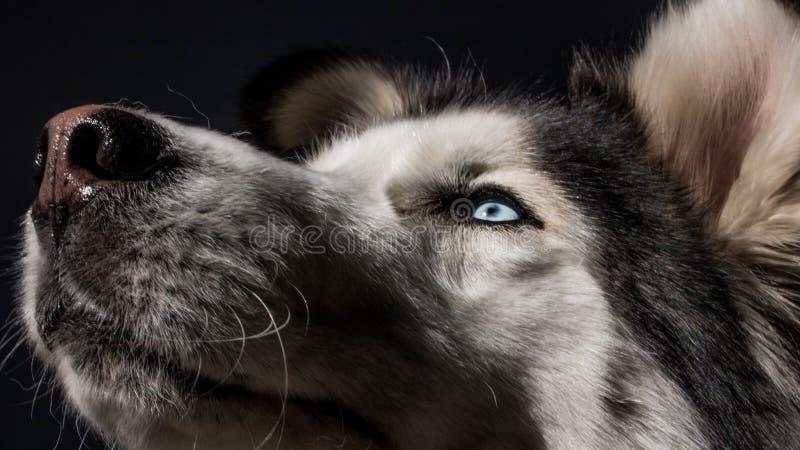 Olhos azuis felizes do cão siberian ronco fotografia de stock