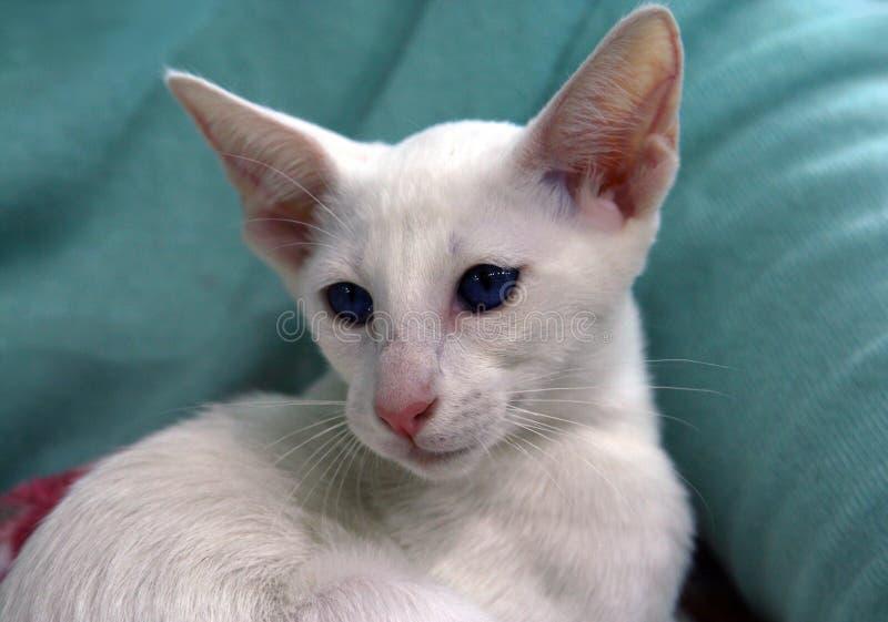 Olhos azuis orientais elegantes do animal de estimação branco estrangeiro da raça do gato delgados fotos de stock royalty free