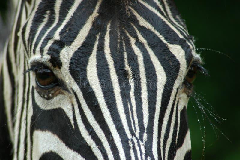 Olhos da zebra imagens de stock