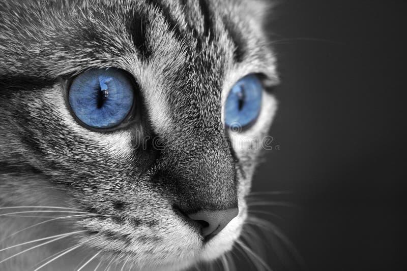 Olhos de gato fotografia de stock royalty free