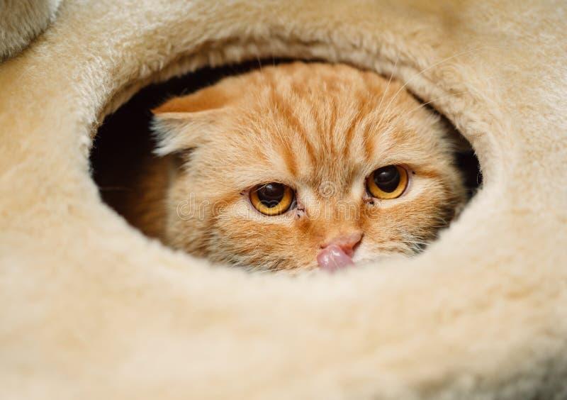 Olhos de gato da dobra do Scottish imagens de stock