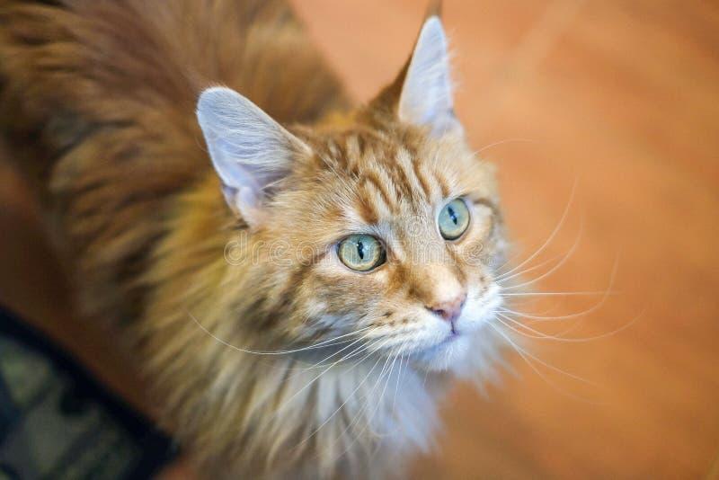 Olhos de gato que imploram pelo alimento imagens de stock