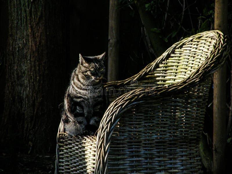 Olhos de gatos cinzentos de Cat Sun fotografia de stock royalty free