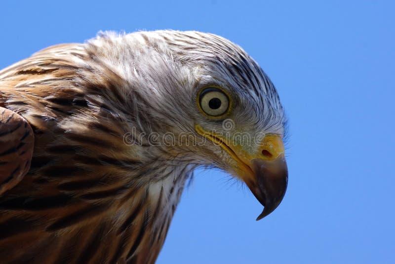 Olhos de predatório fotografia de stock