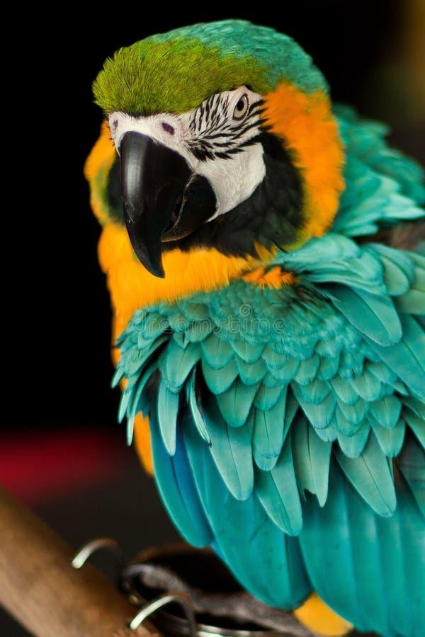 Olhos de um papagaio fotos de stock royalty free