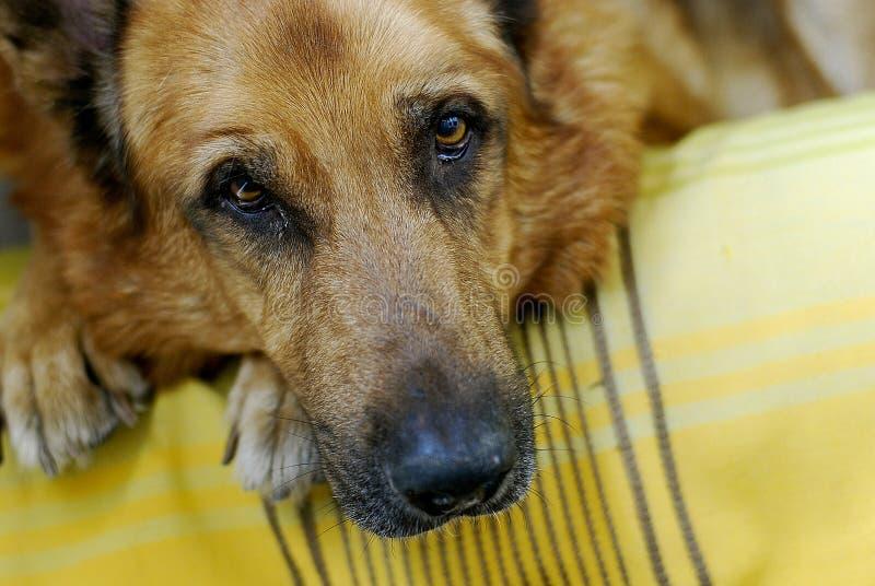 Olhos do cão foto de stock