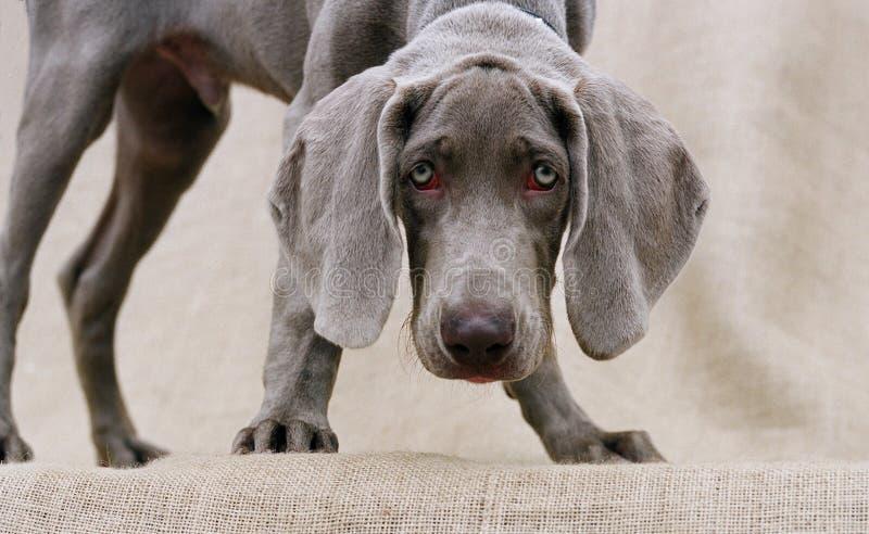 Olhos do cão fotos de stock royalty free