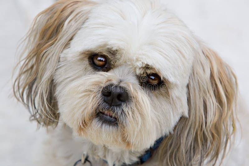 Olhos do cão de filhote de cachorro do tzu de Shih imagens de stock royalty free
