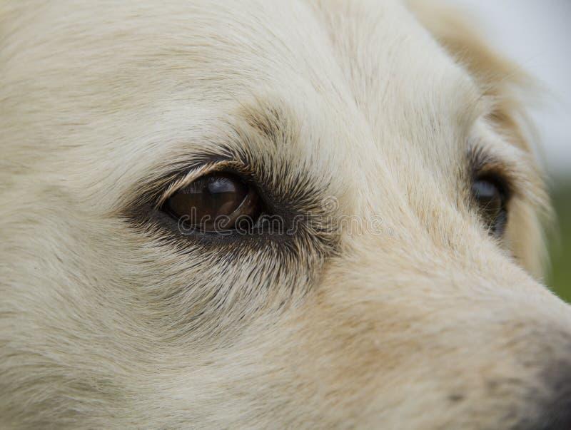 Olhos do cão do golden retriever imagens de stock