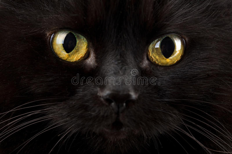 Olhos do gato preto foto de stock royalty free