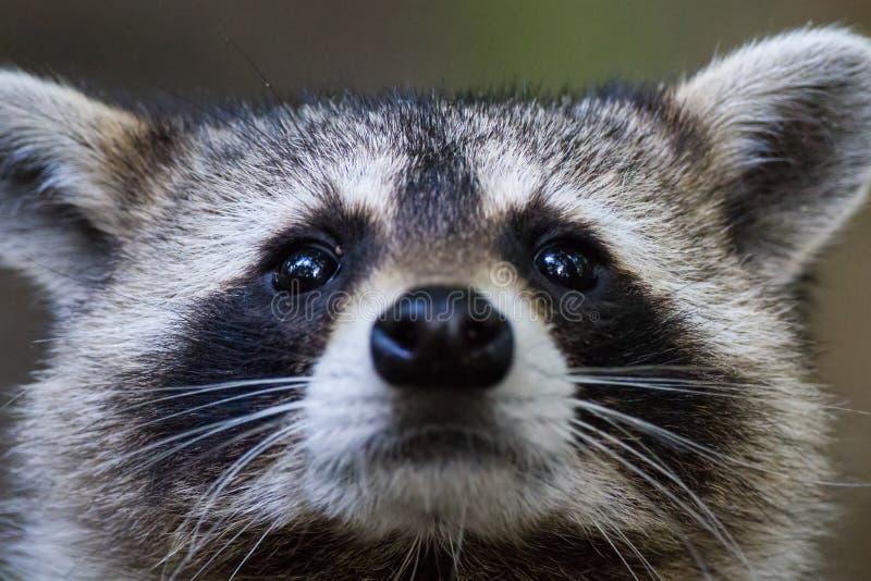 Olhos do guaxinim foto de stock