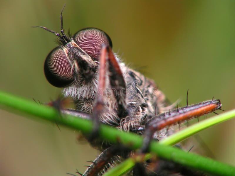 Olhos do inseto foto de stock