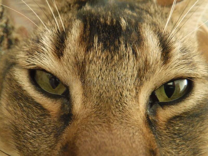 Olhos do ` s do gato foto de stock royalty free