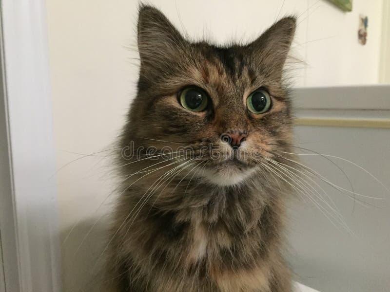 Olhos do ` s do gato Olhando algo fotografia de stock royalty free