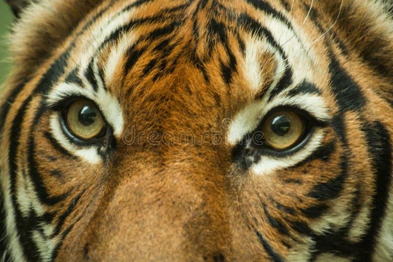 Olhos do tigre, imagem de stock royalty free