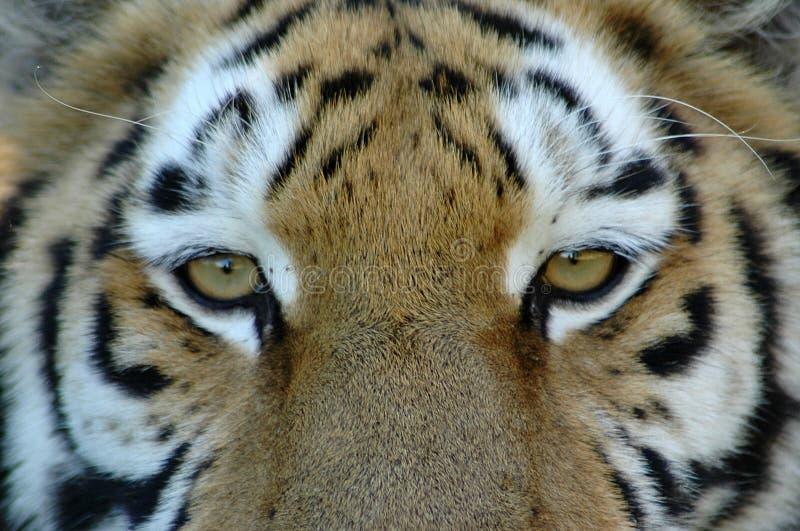 Olhos do tigre