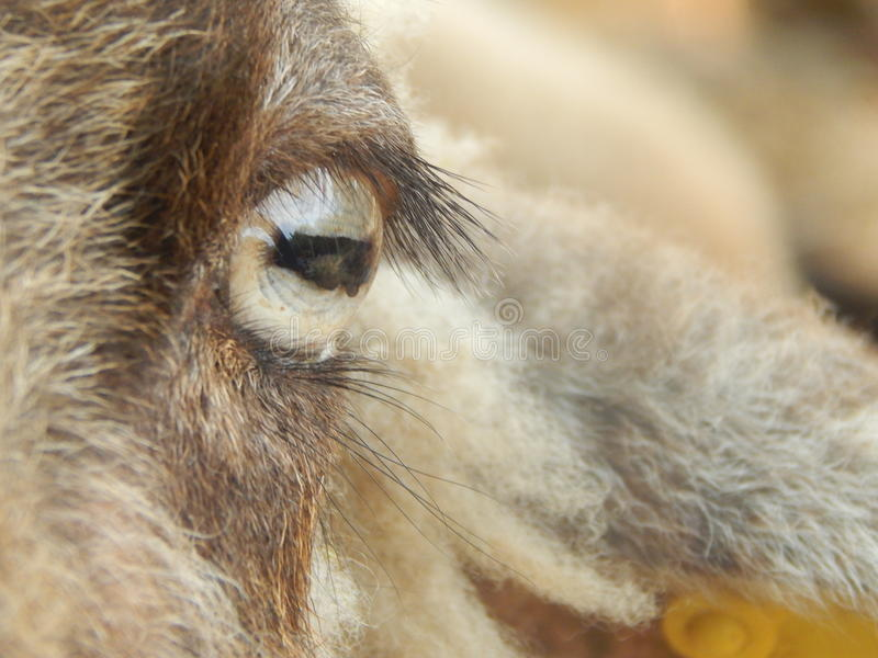 Olhos dos carneiros fotos de stock royalty free