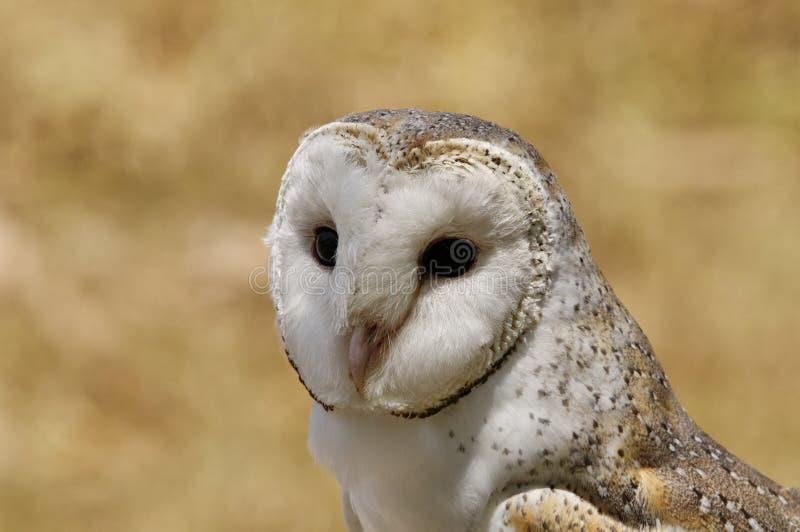 Olhos maravilhosos da coruja de celeiro foto de stock royalty free