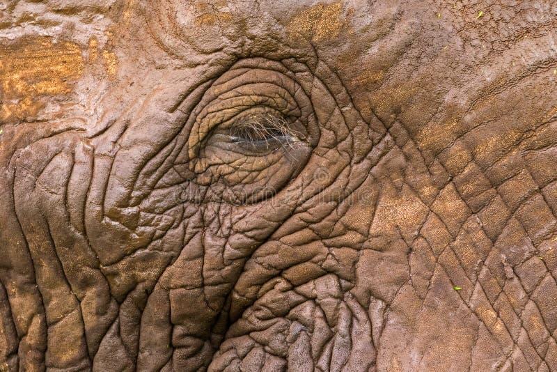 Olhos, pele facial do elefante africano na cratera de Ngorongoro, Tanzânia, África imagem de stock