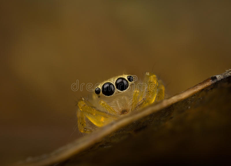 Olhos roxos de salto da aranha imagem de stock