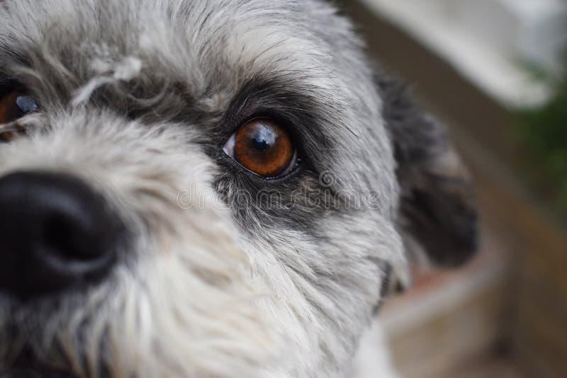 Olhos roxos do branco do cão de cachorrinho imagem de stock
