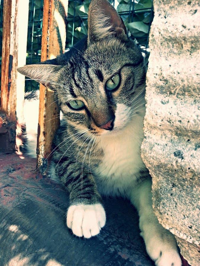 olhos verdes do whit beautyful do gato imagem de stock