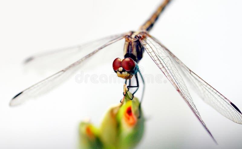 Download Olhos vermelhos foto de stock. Imagem de macro, insetos - 60504