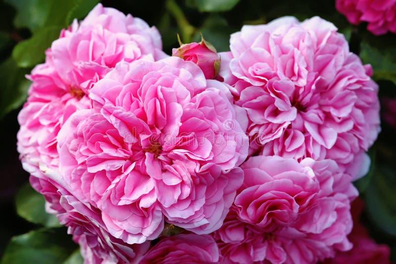 olia Rosen, die Provence rosafarben oder Kohl rosafarben oder Rose de Mai-Nahaufnahme stockbilder
