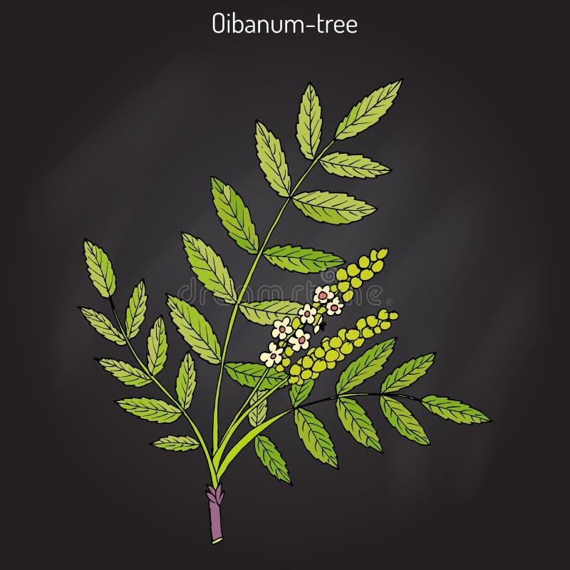 Olibanum-tree Boswellia sacra , or frankincens, aromatic tree. Hand drawn botanical vector illustration vector illustration