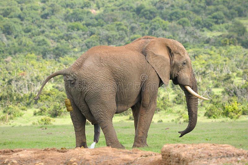 Olifant, Addo Elephant National-park royalty-vrije stock foto