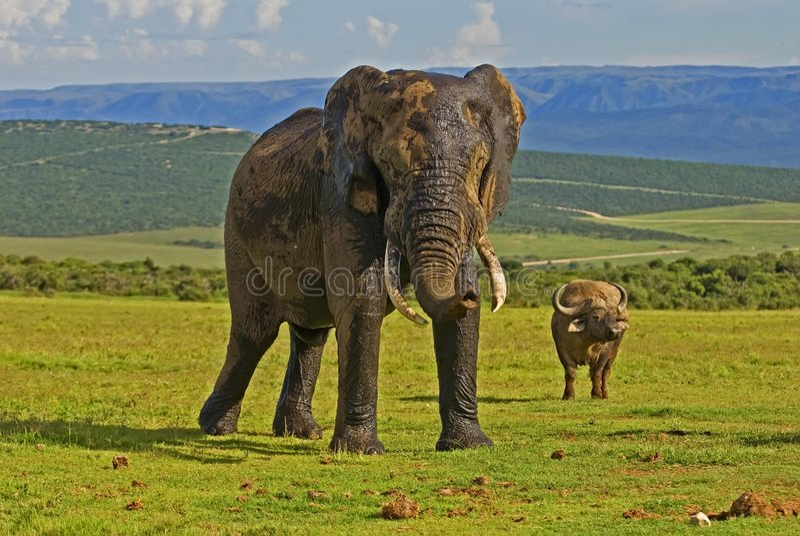 Olifant & Buffels bij Park Addo royalty-vrije stock foto