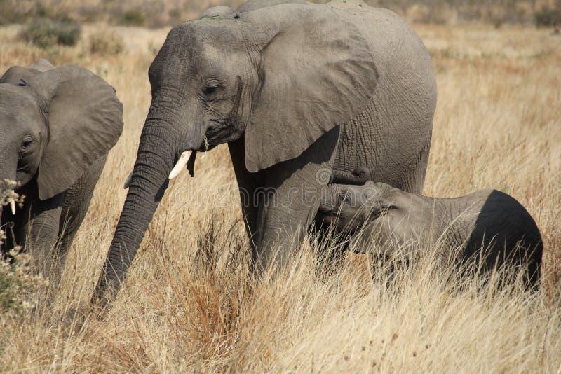 Olifant bij het nationale park van Ruaha, Tanzania Oost-Afrika royalty-vrije stock foto's