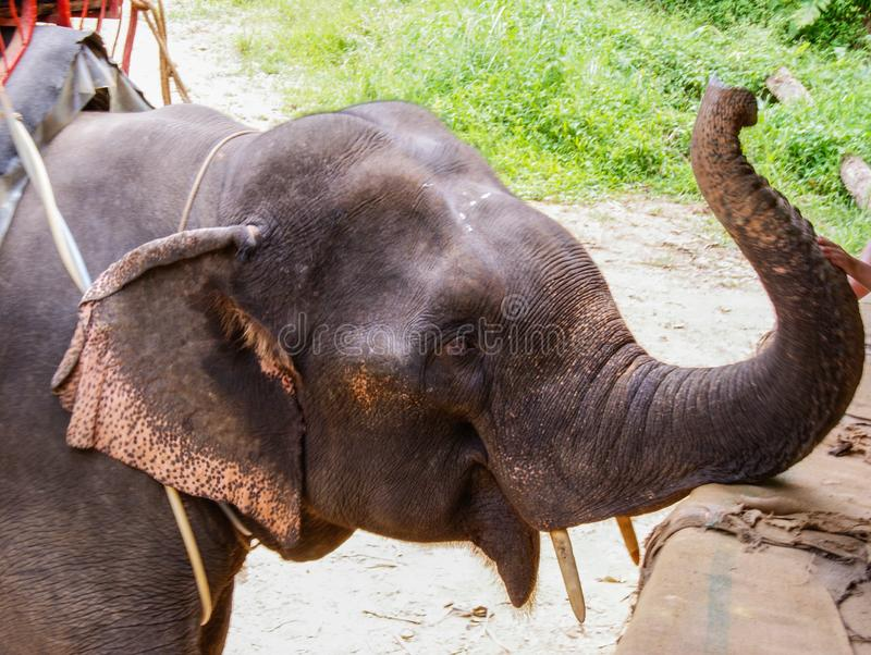 Olifant in Chiang Mai, Thailand, Zuidoost-Azië, Azië royalty-vrije stock foto's