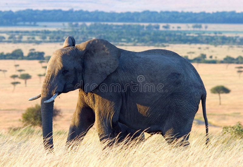 Download Olifant In De Afrikaanse Vlaktes Stock Afbeelding - Afbeelding: 43767