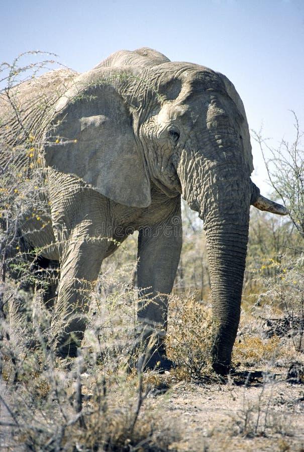 Olifant in de struik royalty-vrije stock foto