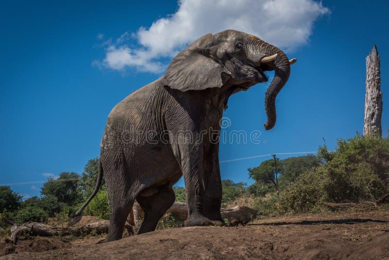 Olifant die aardebank naast dode boom beklimmen stock foto's