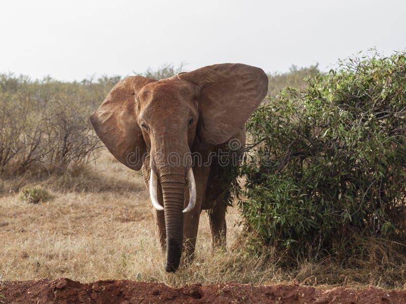 Olifant die bij de camera in Kenia staren royalty-vrije stock foto