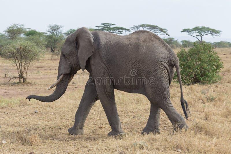 Olifant die in de Serengeti-savanne in Tanzania lopen stock afbeeldingen