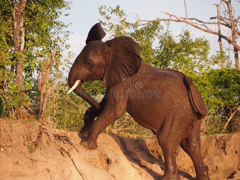 Olifant die een helling beklimmen stock foto's