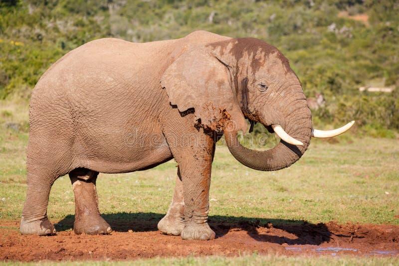 Olifant die Modderbad hebben stock afbeeldingen